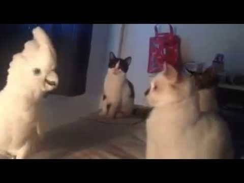 Thumbnail: Cockatoo Meows Like a Cat