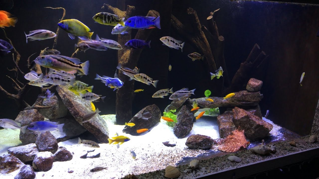 500 Gallon In Wall African Cichlid Tank