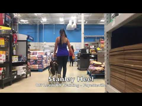 "7mo Brittany Spaniel ""Stanley"" Before and After - Dog Training Fayetteville"