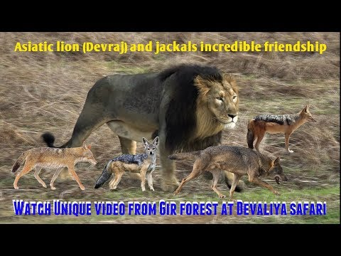 Watch Unique video | Asiatic lion Devraj and jackals incredible friendship in Gir forest at Devaliya