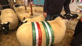 Llwyddiant Defaid Penfrith Biwla | Beulah Speckled Sheep Success