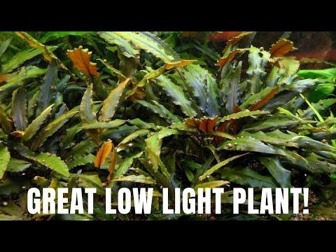Plant Species Spotlight - Cryptocoryne Wendtii - Great Low Light Plant