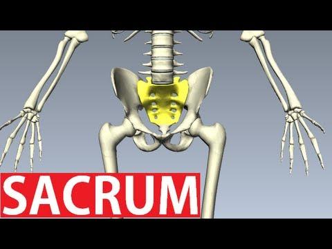 Sacrum Anatomy - Pelvic Anatomy - YouTube