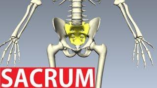 Sacrum Anatomy - Pelvic Anatomy