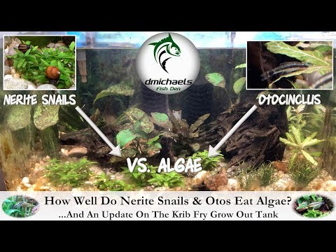 How Well Do Nerite Snails & Otos Eat Algae?  ...And An Update On The Krib Fry Tank