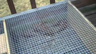 6 House Sparrow Caught in Bird Trap