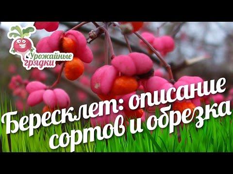 Бересклет крылатый и европейский (нано) - описание сортов. Обрезка береклета #urozhainye_gryadki