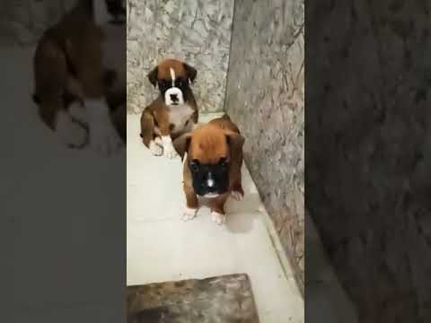 Boxer Dog male and female puppies for sale in Gurgaon pet shop call 9212501257