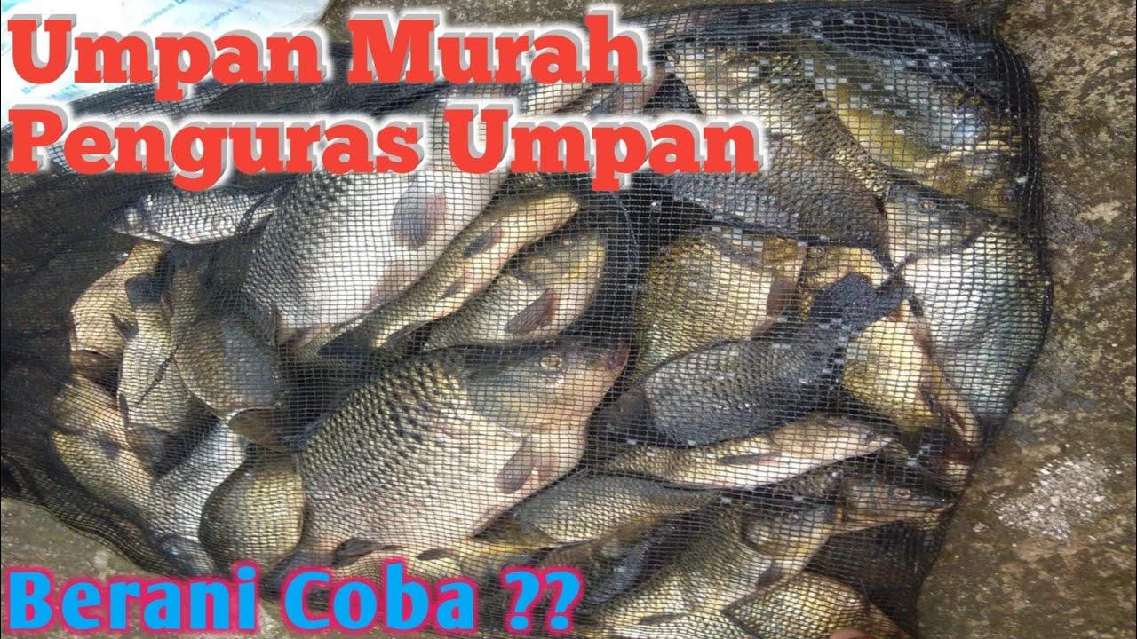 Dapat 141 Ekor Ikan Mas Dengan Umpan Murah Penguras Kolam Ini Youtube