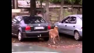 Wściekła koza atakuje ludzi