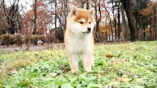 柴犬専門ブリーダー・犬舎の子犬販売 柴犬.net ID:1393 http://www.shib...