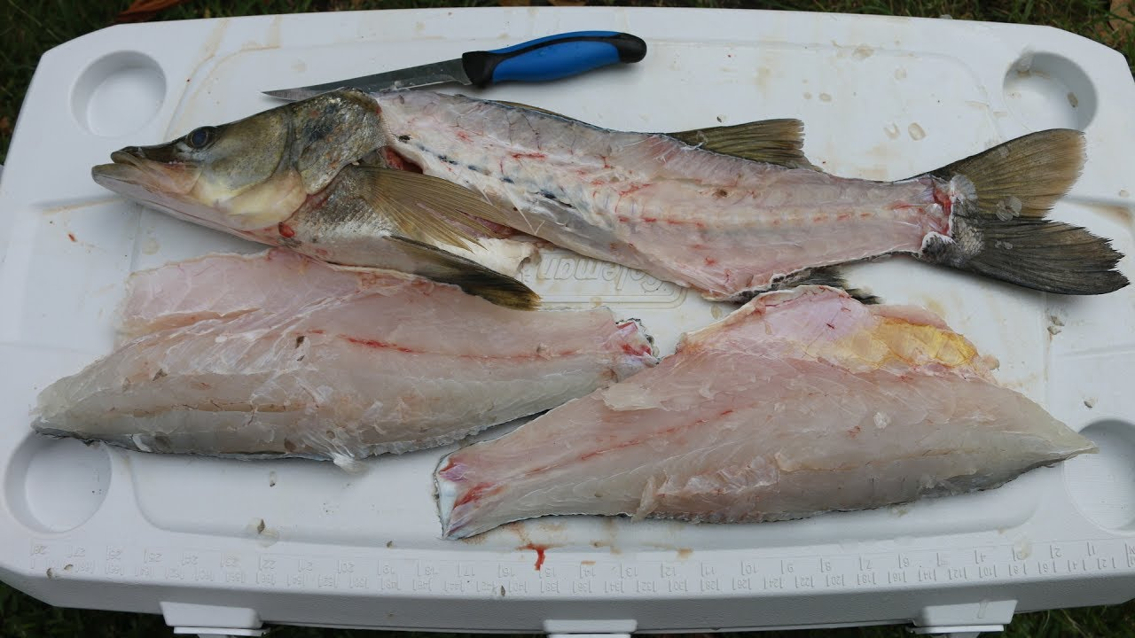 the most overrated eating fish snook catch clean and cook