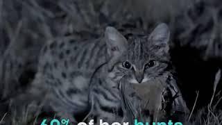 Самая смертоносная кошка