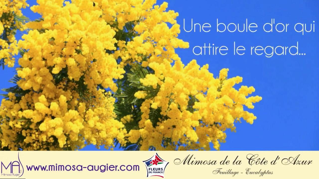 Bouquet De Mimosa Youtube
