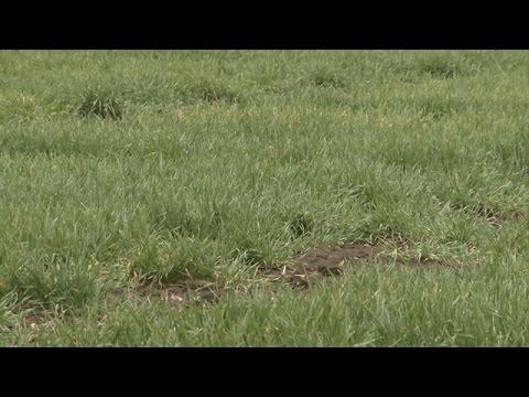 Winter Wheat Scouting - Stephen Wegulo - March 31, 2017