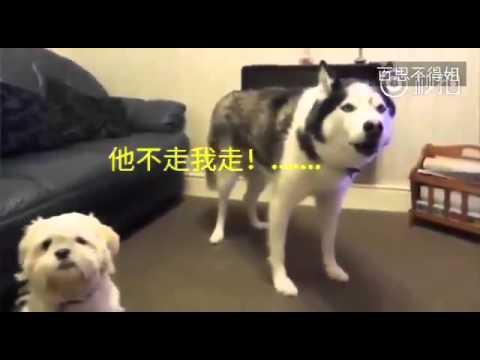 主人带第二只狗回家后,家里的老大哈士奇表示不服!