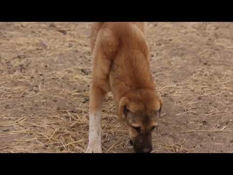 видео: Аборигенные САО Таджикистана, саги дахмарда из Дангары и Лучоба