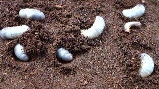 孵化から推定3カ月ほど経過したカブトムシの幼虫。 前回交換から35日お...