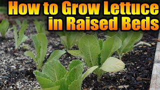 How To Grow Lettuce in Raised Beds