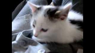 かわいいお昼寝子猫*^^* かわいい声&ゴロゴロ 恋太郎