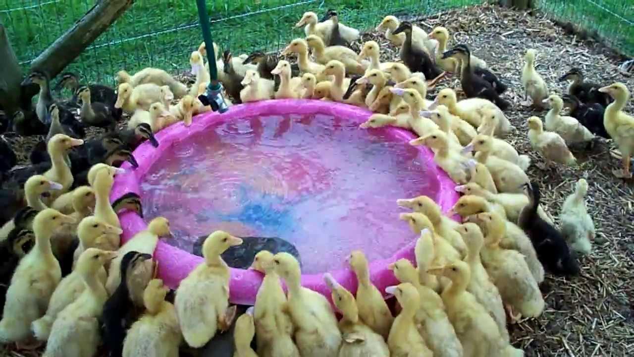 Baby Ducks In Water