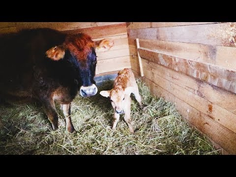 Cow Gives Birth (1st TIME) ~ Gender Reveal