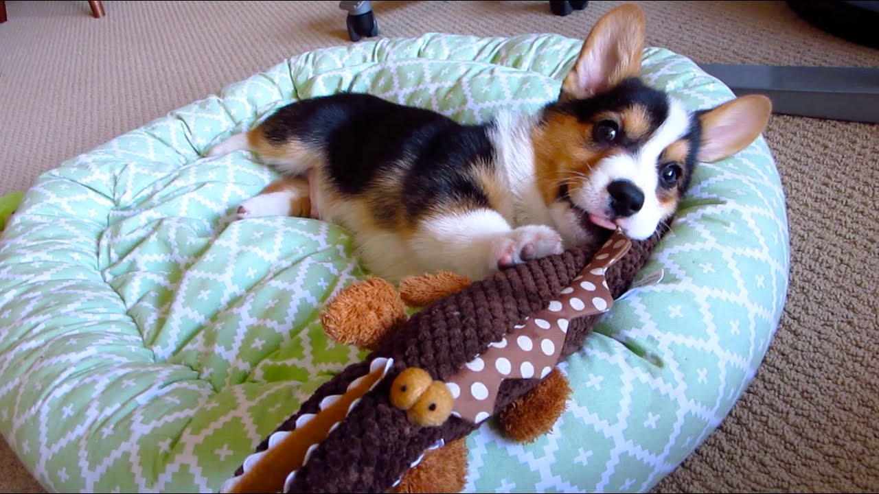 CORGI PUPPY LOVES TOYS SHAPED Like His BODY favorite dog toys