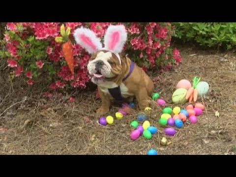 Don Action Jackson - Cadbury's New Easter Bunny Is Henry the Bulldog