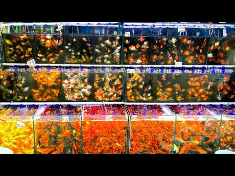 1 MILLION FISH At This Goldfish Market!