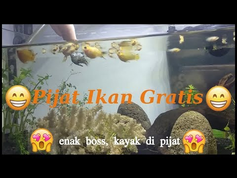 update-&-terapi-ikan-molly-ballon