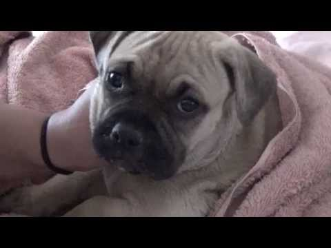 Pug Pitbull Mix - PugBull Terrier | Shop for your Cause