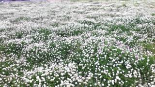 Poor man way to plant clover... to help #SaveOurBees, will it work?