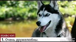 Плюсы и минусы породы щенка Сибирская хаски.