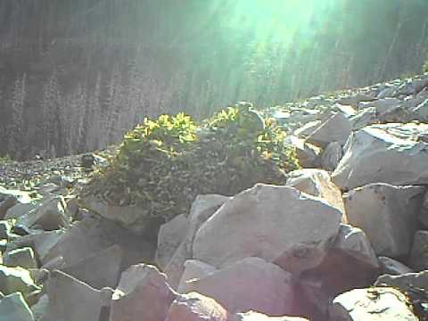 American pika (Ochotona princeps) adds plants to its overwinter cache