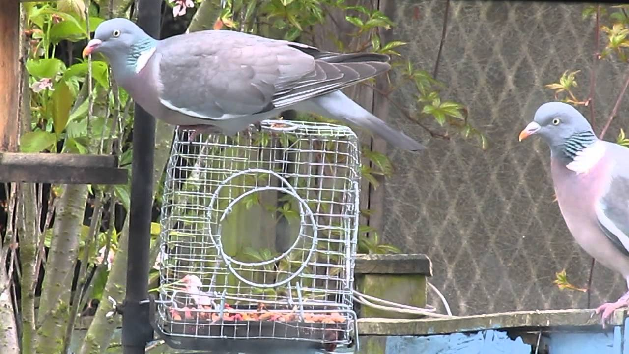Pigeons defeated by bird feeder cage - YouTube