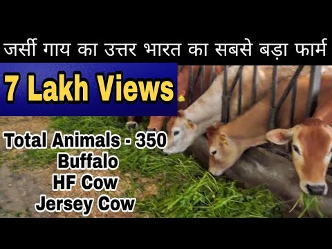 Assal Dairy Farm @ Ferozpur(Punjab). 350 animals hear. Owner- Jagdeep Singh Sandhu Ji.