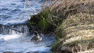 Wrona siwa w kąpieli / Hooded Crow bathing