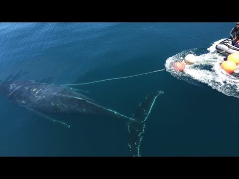 Divers Trying To Save Drowning Whale Are Blindsided By Its Unexpected Response