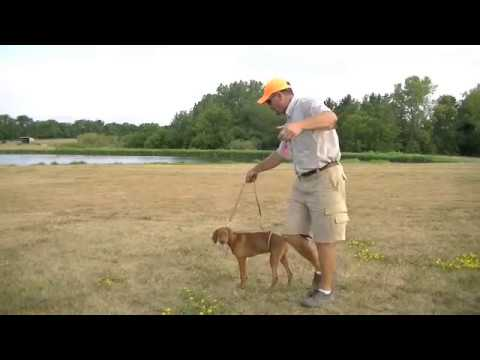 Pointing Dog Puppy Training with Gun Dog Success