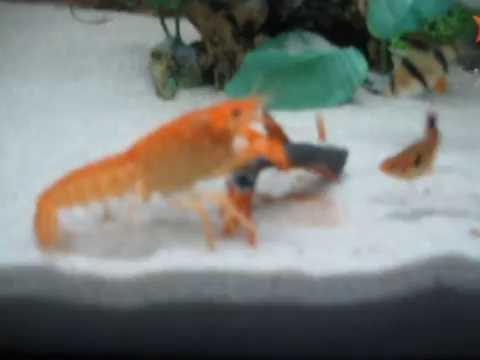 Crayfish Lobster eat shark fish לובסטר אוכל דג כריש - YouTube
