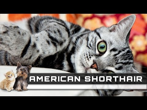 🐈 AMERICAN SHORTHAIR Cat Breed - Overview, Facts, Traits and Price