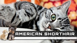 AMERICAN SHORTHAIR Cat Breed  Overview, Facts, Traits and Price