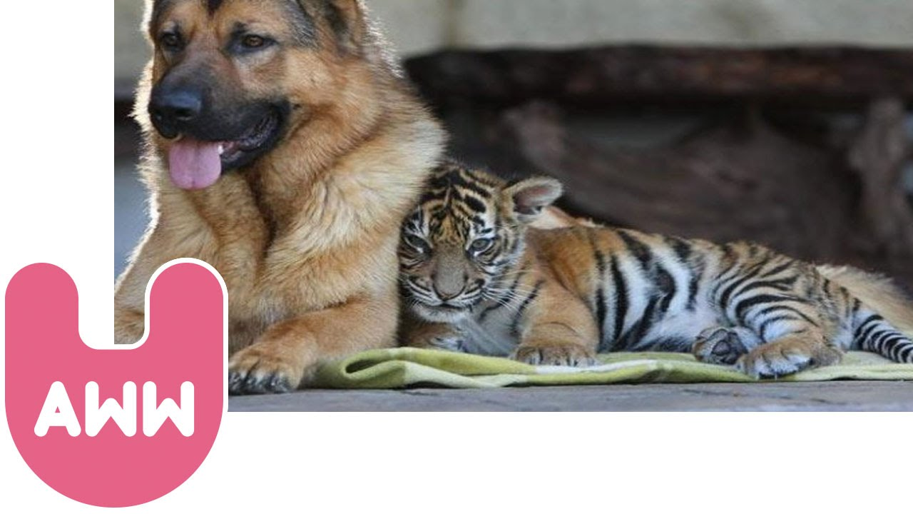 Remote Control Dog >> Tiger Makes Friends With Dog - YouTube