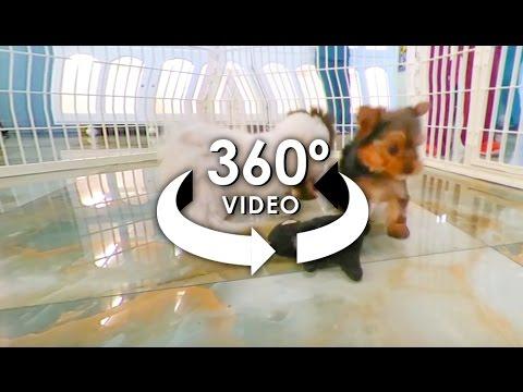 360° Video of TeaCup Puppies 2 - #ALLieCamera