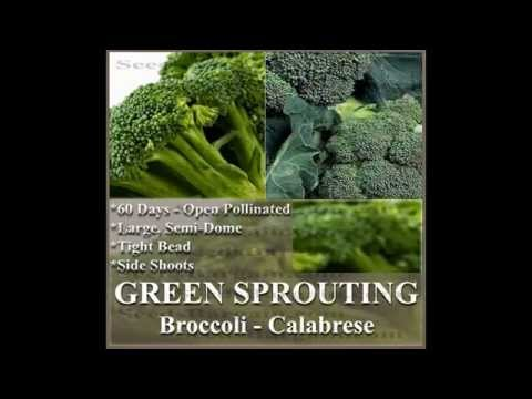 ORGANIC SPROUTING CALABRESE Broccoli seeds,  SEEDS on  www.MySeeds.Co