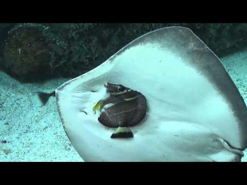 14 39 armatus vampire fish eats 8 39 trout funnycat tv for Stingray fish tank