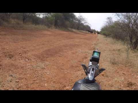 Cape buffalo shot with a revolver.
