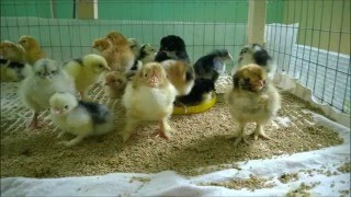 Продаются индюшата, цыплята и утята(, 2016-05-06T10:53:46.000Z)
