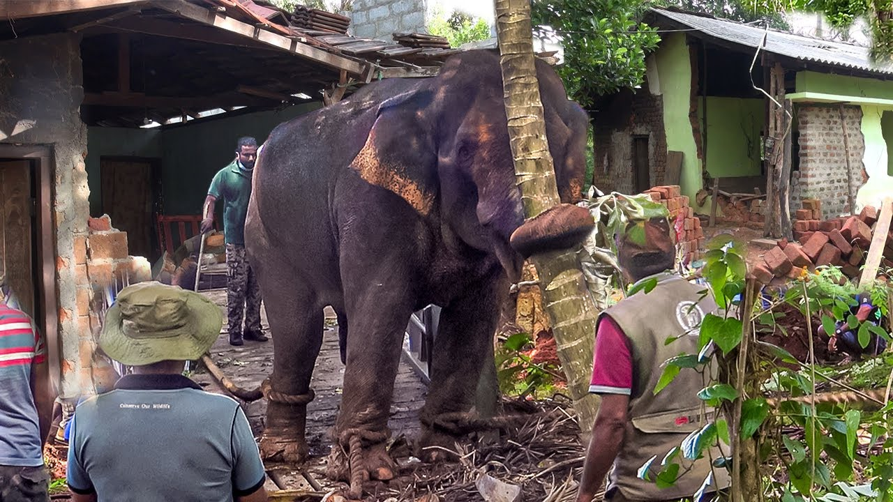 Bounty Hunting in the wild: aggressive elephant finally caught