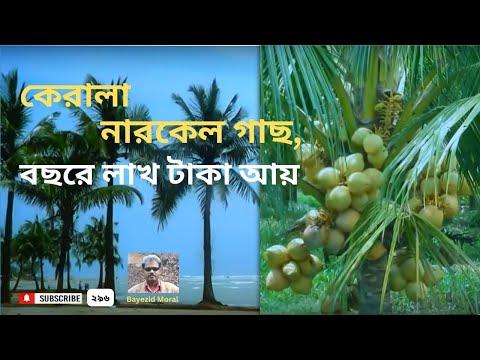Planting high-yielding Kerala coconut tree, উচ্চফলনশীল কেরালা নারকেল গাছ লাগিয়ে বছরে লাখ লাখ টাকা আয়